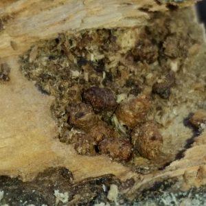 20150307_121842_glomerulos zeuzera pyrina