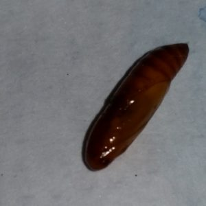 20150307_210809_pupa euzophera pinguis